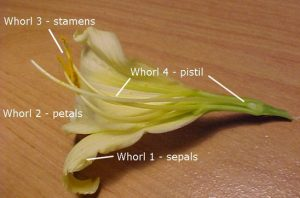 Picture of floral whorl